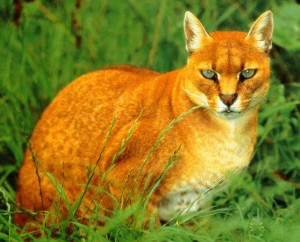 Cats Of The World African Golden Cat